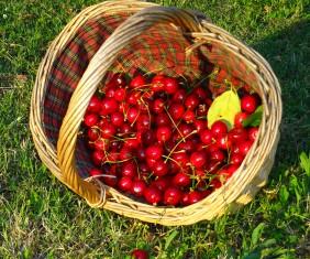 Panier de belles cerises du jardin